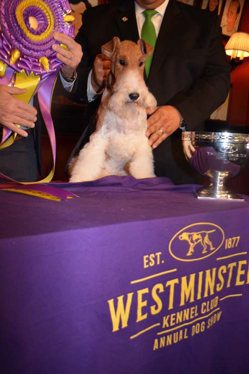 Top Dog Wire Fox Terrier King.  Photo by:  Rose Billings/Blacktiemagazine.com
